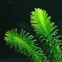 5x Oxygenating Weed Planta estanque Elodea densa–también Acuario Plantas Acuáticas