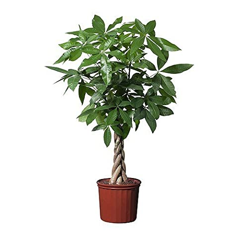 Easy Care Plaited Money Tree - Pachira Aquatica - Elegant decorative indoor tree - Virtually Kill-Proof - Ideal for offices and conservatories - Simple houseplant gift - Braided stem.