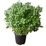 Kleinblättriges Basilikum (französisches Basilikum) - kräftige Basilikum-Pflanze im großen Topf in gärtnerischer Qualität