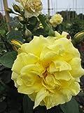 Kletterrose Golden Gate® - Rosa Golden Gate® - goldgelb - reingelb Duft++ Kordes Rose - ADR-Rose - Großpflanze - mehrjährige Solitärrose
