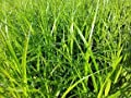 Palmwedel Segge - Carex muskingumensis - Palmwedel ähnliche Blätte von Staudengärtnerei bei Du und dein Garten