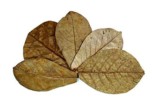 Seemandelbaumblätter Catappa Leaves - TOP Qualität Seemandelbaum Blätter Blatt (50 Stück) (Gepresstes Blatt)