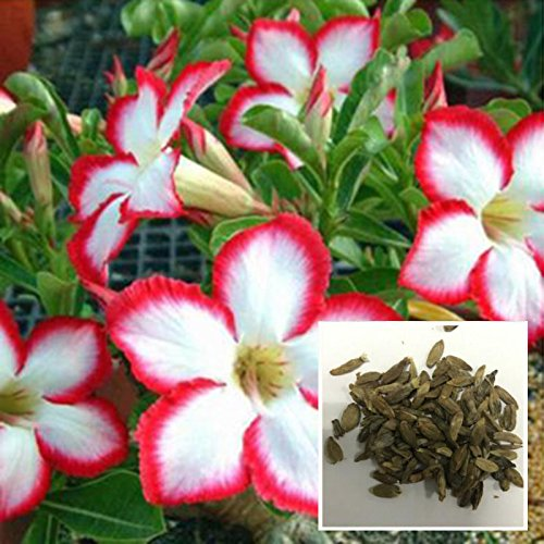 Auntwhale (50 pcs) Desert Rose Seeds rayé rouge