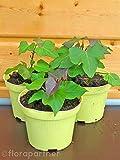 Süßkartoffel Erato orange Ipomea batata Gemüse Pflanze 2stk.