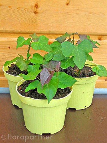 Süßkartoffel Erato orange Ipomea batata Gemüse Pflanze 4stk.