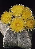 Tropica - Kakteen - Bischofsmütze (Astrophytum myriostigma) - 40 Samen