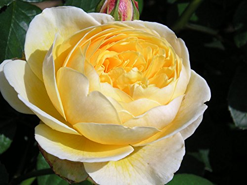 graham-thomas-bareroot-david-austin-shrub-or-climbing-garden-rose-fragrant-golden-yellow-blooms