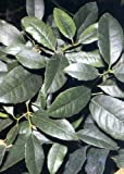 TROPICA - Yerba mate (thé du Paraguay) (Ilex paraguensis Hook.) - 50 graines- Plante utile