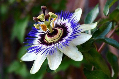 Passiflora caerulea - Blaue Passionsblume - 10 Samen