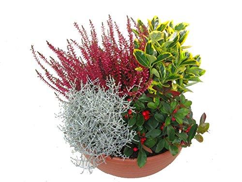 bepflanzte Schale mit bunter Herbst-Winter-Bepflanzung, winterhart, mehrjährig Topfgröße 25 cm