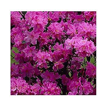 Shop Meeko Rhododendron 'Praecox' Hybrid 15 cm Topf