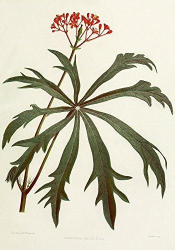 The Poster Corp Lena Lowis - Familiar Indian Flowers 1878 Jatropha Multifida Kunstdruck (60,96 x 91,44 cm)