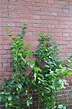 Hainbuche oder Weißbuche Carpinus betulus 80 - 120 cm mit Topfballen
