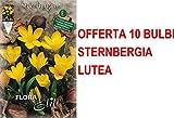 OFFERTA 10 BULBI AUTUNNALI STERNBERGIA LUTEA BULBS BULBES
