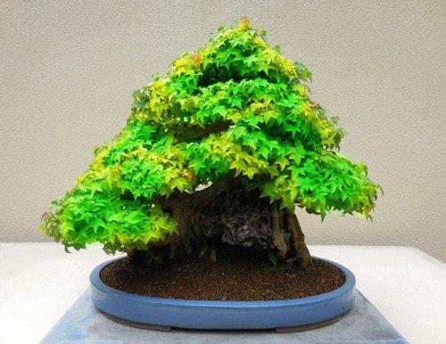 20 pc / sacchetto fuoco acero, foglie d'acero, semi di albero bonsai, la crescita naturale (Albero Di Fuoco)