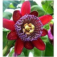 Passiflora quadrangularis - - 10 semillas