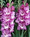 """Gladiolus - Gladiole """" Robert """" (5) von Mosselman bei Du und dein Garten"""