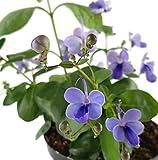 Clerodendrum ugandense - der Schmetterlingslosstrauch ist eine sehr schöne Zimmerpflanze für das Ostfenster- das Blauflügelchen ist ca. 15 cm hoch und ein absoluter Dauerblüher für Ihr zu Hause