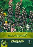 mgc24® Kaiserkrone Fritillaria imperialis Persica - 1 Blumenzwiebel (ca. 20mm)