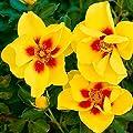 Gärtner Pötschke Rose Eyeconic® von Gärtner Pötschke - Du und dein Garten