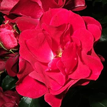 Rotilia® ADR Rose Beetrose
