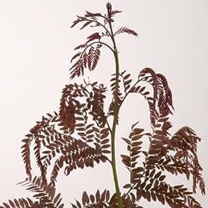 Fevier pourpre - Gleditsia triacanthos 'Rubylace'