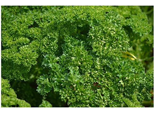 Premier Seeds Direct HRB22 italienische Triple Moss Curled PetersilienSamen (Packung mit 2500)
