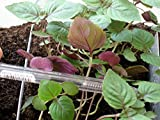 Zweifarbige Perilla - Perilla frutescens var crispa - 100 Samen