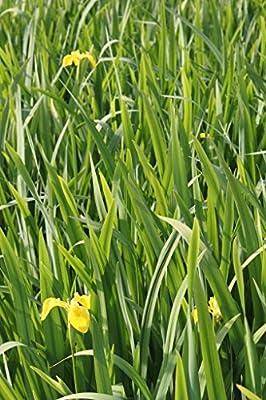 Wasserpflanzen Wolff - Iris pseudacorus - Wasserschwertlilie - Sumpfschwertlilie, gelb von Wasserpflanzen Wolff auf Du und dein Garten