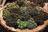 Sedum Stoloniferum 100 Samen, Dachbegrünung - schon erstaunlich