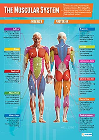 The Muscular System | PE Wall Chart/Posters In High Gloss Paper (A1 850mm X 594mm)