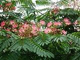 Seidenbaum Albizia julibrissin Schlafbaum Pflanze 10cm Seidenakazie tolle Blüten