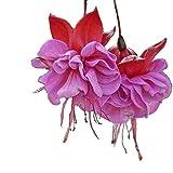 BigFamily Blumensamen-Fuchsien-Samen-seltene Mischfarbe 10pcs / Bag einfach, Hof zu wachsen