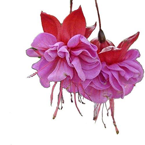 bigfamily semi di fiori semi fucsia raro colore misto 10 pz / borsa facile da coltivare