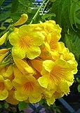 TROPICA - Gelber Trompetenstrauch (Tecoma stans) - 30 Samen