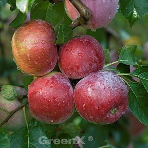 Apfelbaum Liberty 60-80cm – Winterapfel knackig
