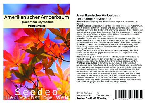Seedeo® Amerikanischer Amberbaum (Liquidambar styraciflua) 100 Samen