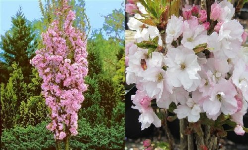 prunus-amanogawa-flagpole-flowering-cherry-tree-7-8ft-supplied-in-a-10-litre-pot