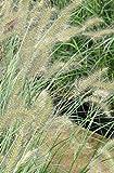 Palmenmann Lampenputzergras (Hameln) - Pennisetum alopecuroides Hameln