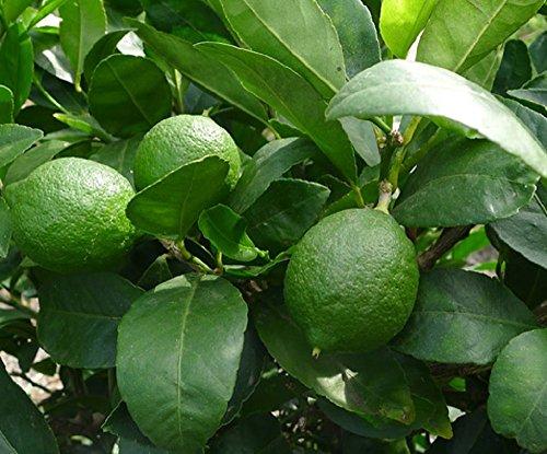 lime-citrus-fruit-tree-45-50cm-supplied-in-a-2-litre-pot