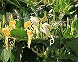 Portal Cool Caprifoglio (Lonicera caprifolium) Circa. 30-40 cm dal nostro giardino in Spagna