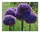 Allium giganteum - - 15 semillas