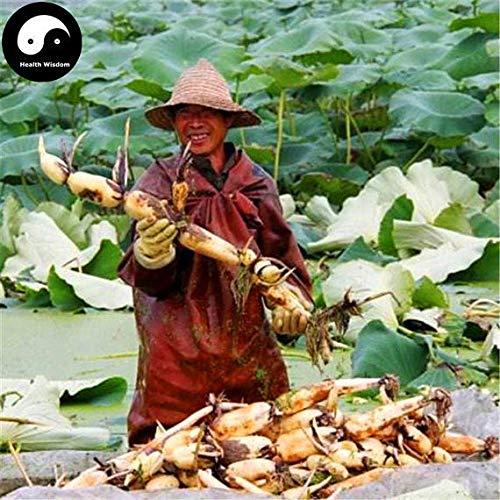 PLAT FIRM KEIM SEEDS: 25 Stück: Kaufen Wurzel Gemüsesamen Wasserpflanze Nelumbo Nucifera Gemüse