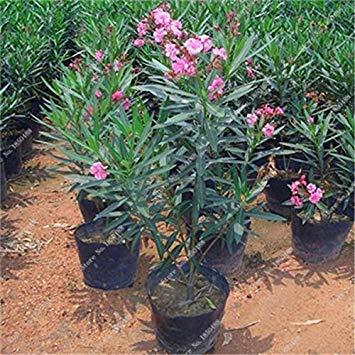 Bonsai Nerium Oleander Seed (Nerium indicum Mühle) im Freien mit Charme Blumen-Baum blühende Pflanzen Garten-Dekoration 120 PC/Los 2