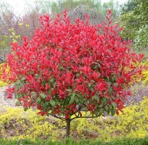 nuovo-50-semi-nuova-casa-giardino-delle-piante-photinia-fraseri-frasery-serrulata-red-robin-tipluohu
