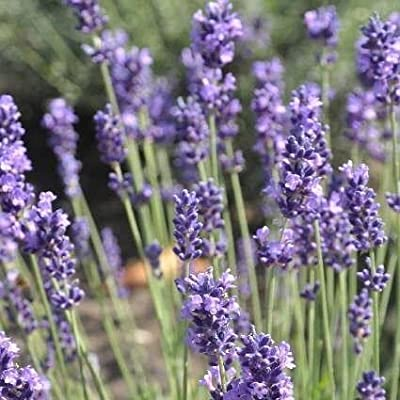 Lavendel Lavendula angustifolia Hidcote Blue von VDG Stauden - Du und dein Garten