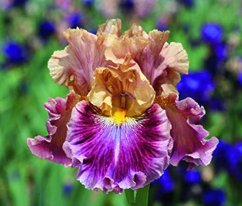 Qulista Samenhaus - Rarität Sibirische Schwertlilie Iris 'How Audacious' Blumensamen Mischung winterhart mehrjährig für Blumenkübeln auf Terrasse/Balkon