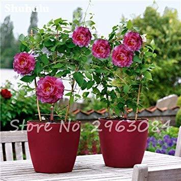 10 pièces rares graines Pivoine chinoise plantation de fleurs et jardin Paeonia Suffruticosa Graines Indoor Bonsai Fleurs Graines 12 Plante
