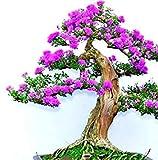 Fash Lady Pflaume: 20 Partikel Bonsai-Lilien-Samen Haus u. Garten Glyzinie-Blumen-Baum-Samen Innen/im Freien beständige dekorative Blumenpflanzen