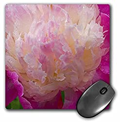 3dRose Peony Flower, Port Townsend, Washington - US48 DGU0130 - Darrell Gulin, Mouse Pad, 8 by 8 inches